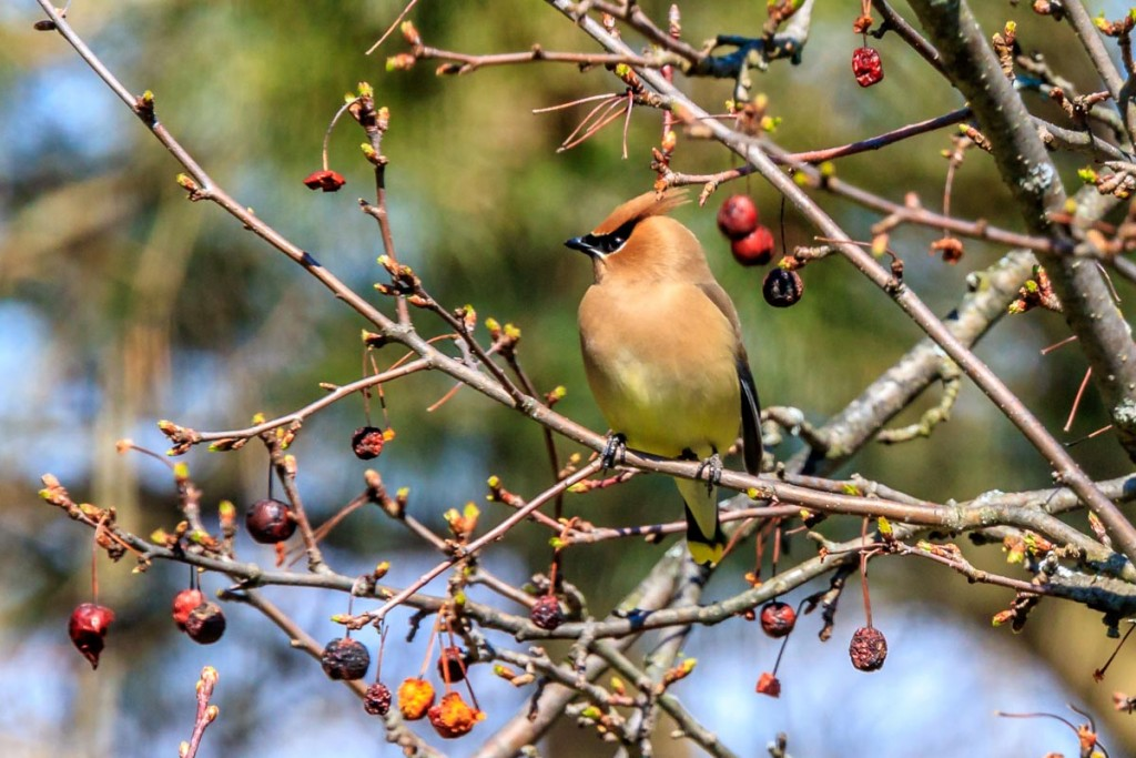 Cedar Waxwing in the Crab Apple Tree