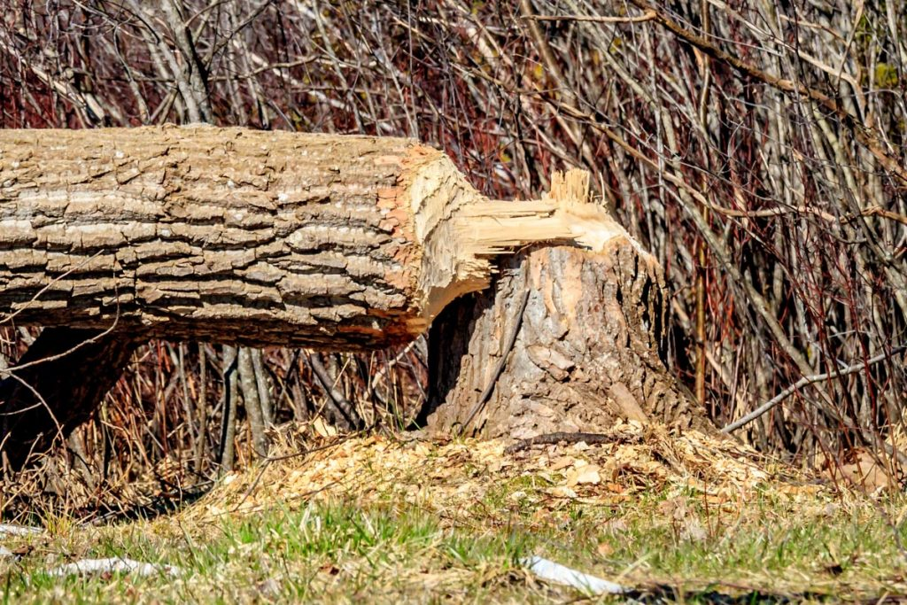 Signs of Beaver Activity