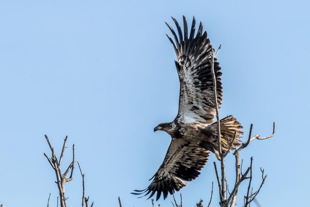 Young Eagle in Flight