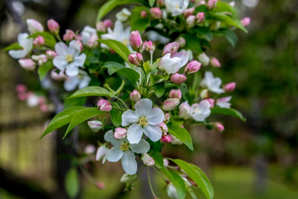Flowering Crabapple Blossoms