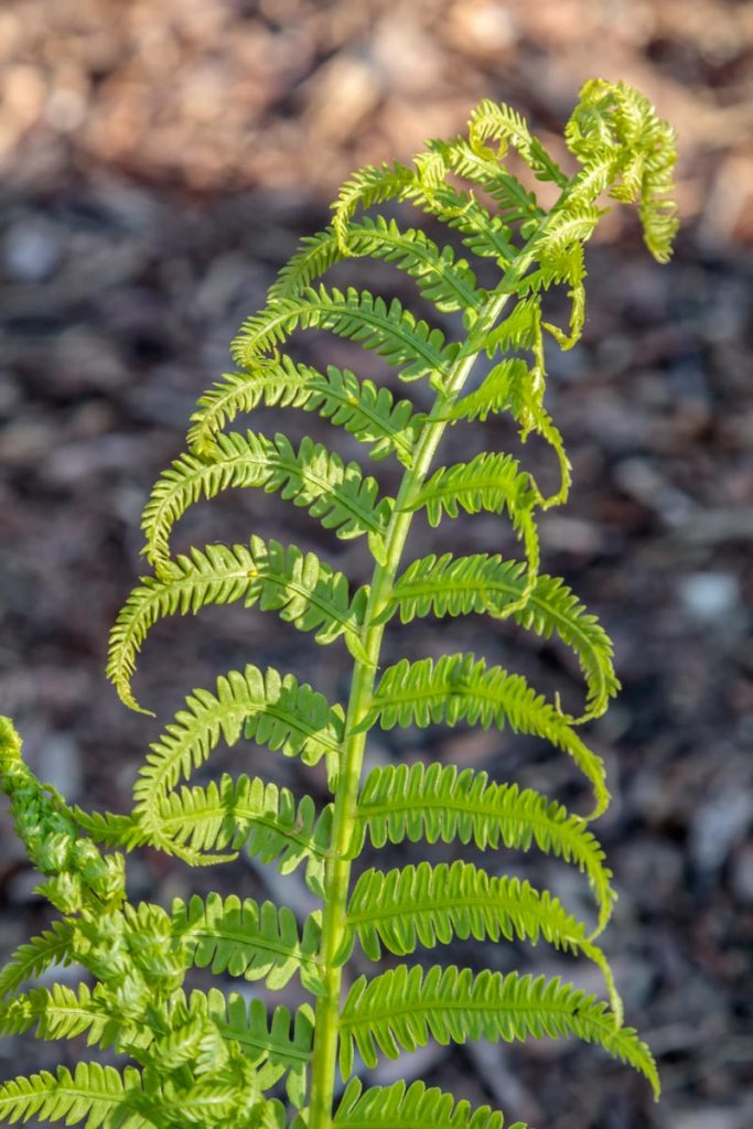 Fern in Barb's Garden