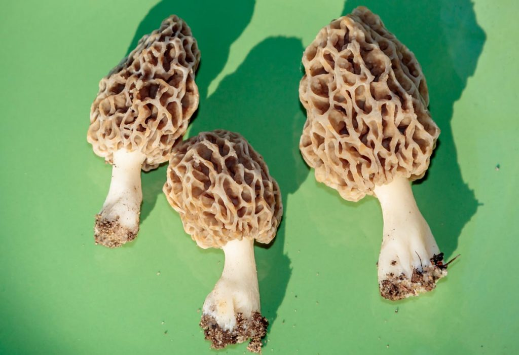 Morel Mushrooms in Barb's Garden