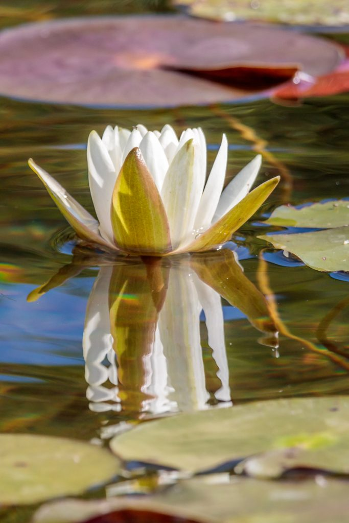 Water Lily Reflection 2
