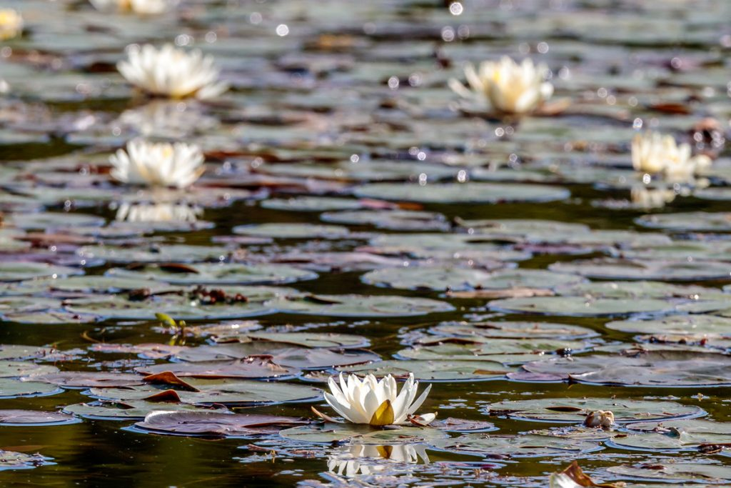 Lots of Water Lilies