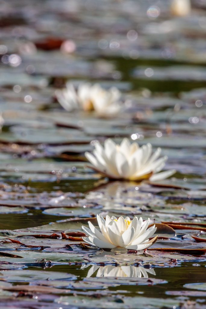 Three Water Lilies in a Row
