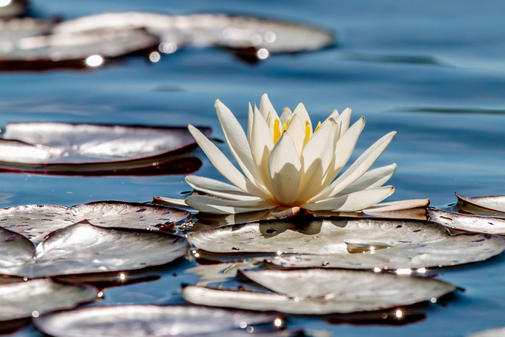 Back-lit Water Lily