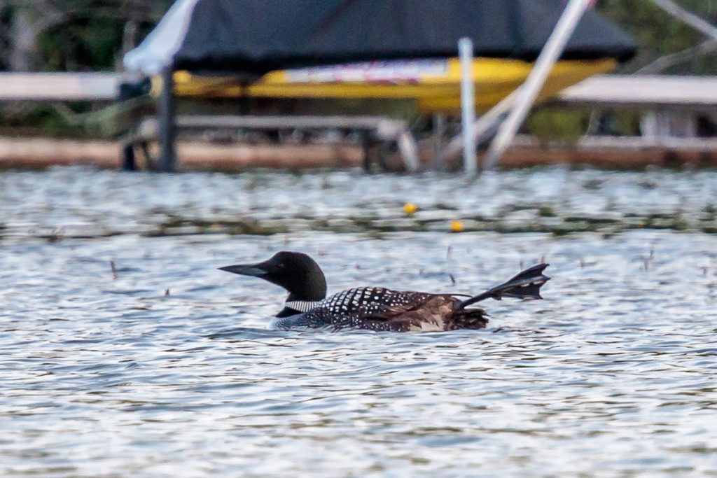 Loon with Leg Extended