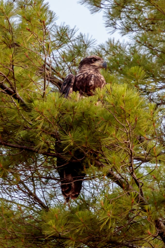 Juvenile Bald Eagle in Tree Along the Shore