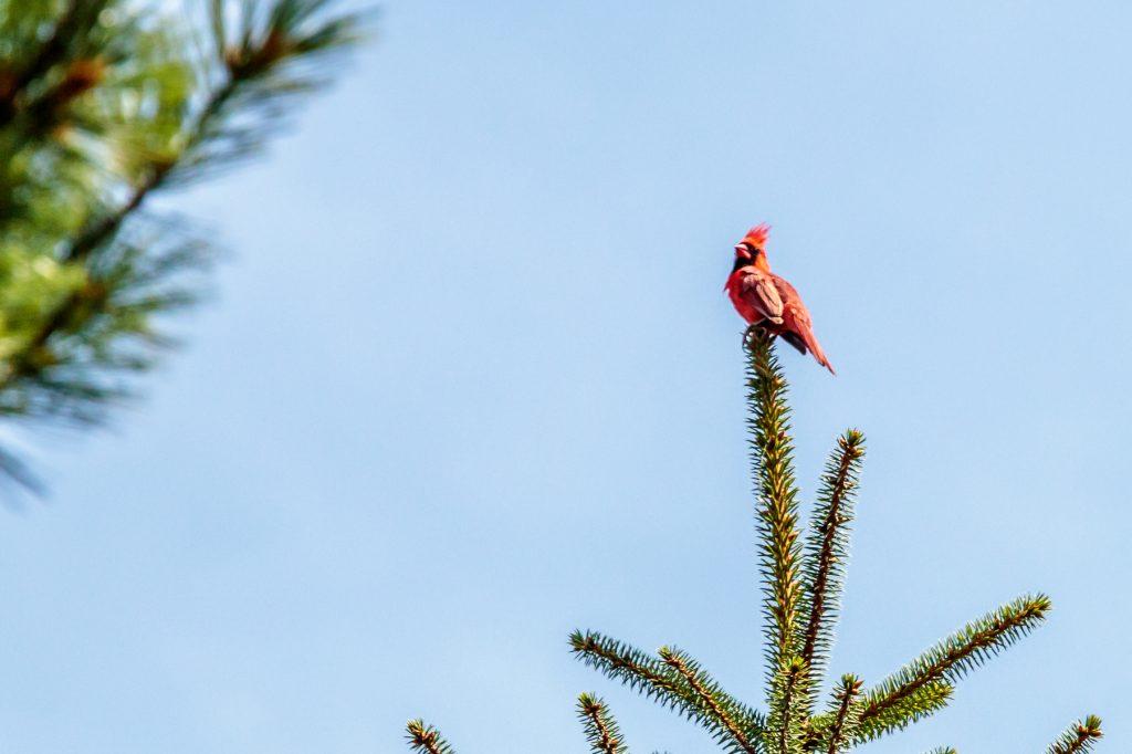 Cardinal in the Pine Tree