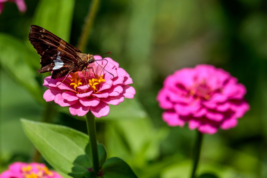 More Zinnias with Butterfly