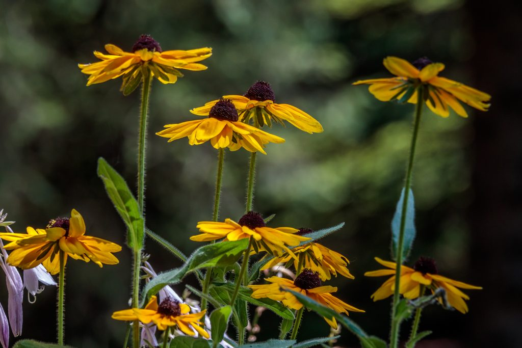 Multiple Black-Eyed-Susans