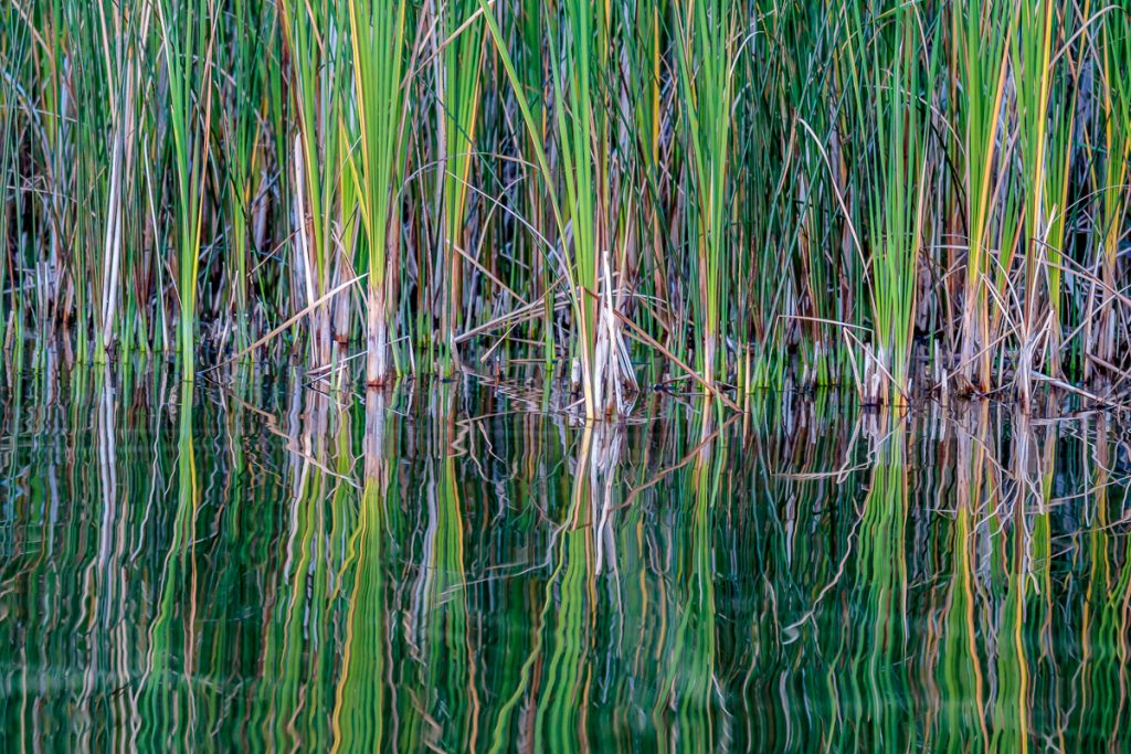 Reflections of Cat Tails 3