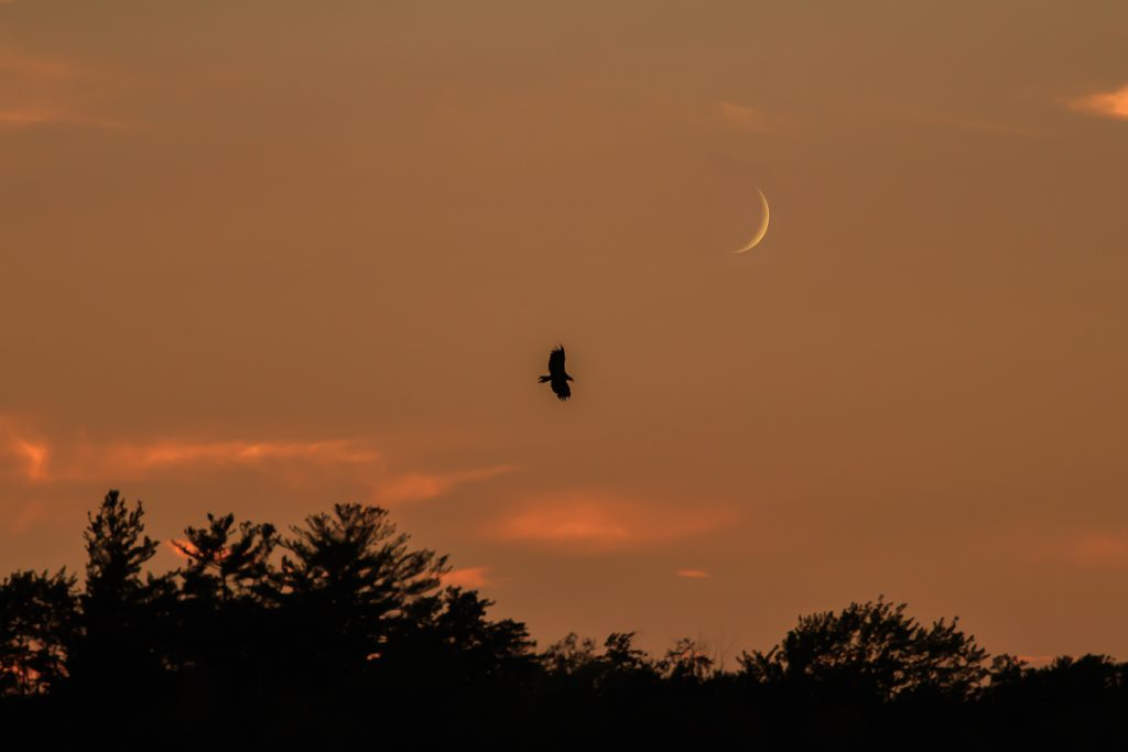 Eagle in Flight with Sliver of Moon