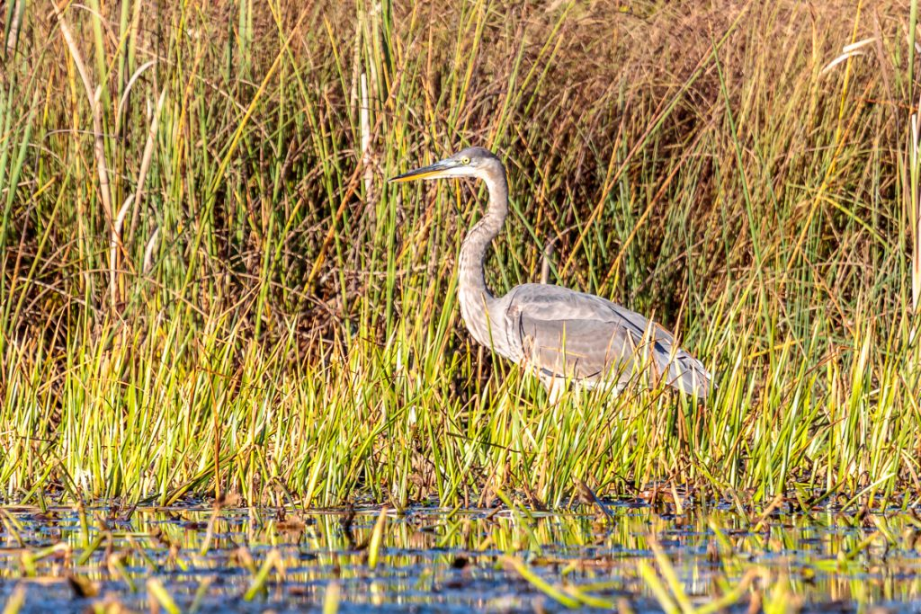 Heron about to strike