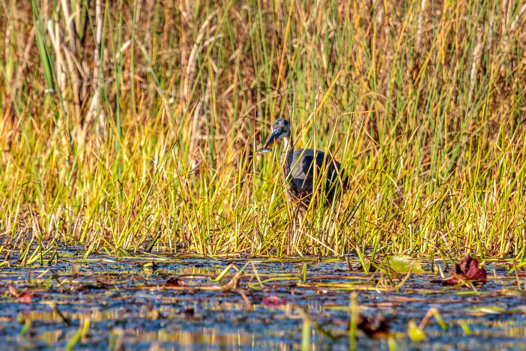 Heron with first of several fish