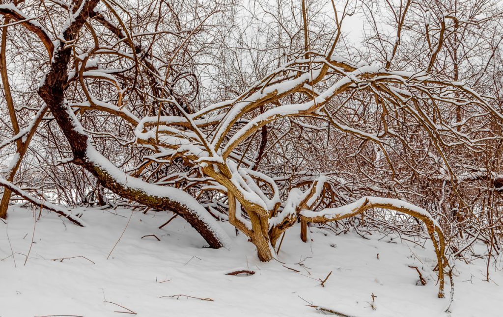 Snow on the Twisted Tree