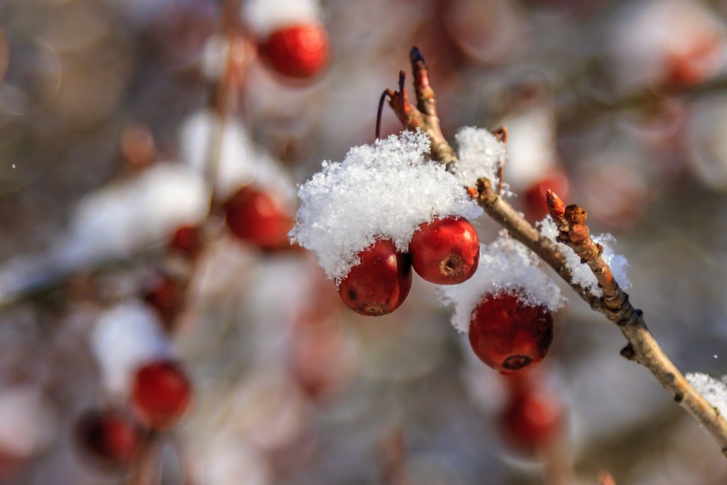 Snowy Crab Apples