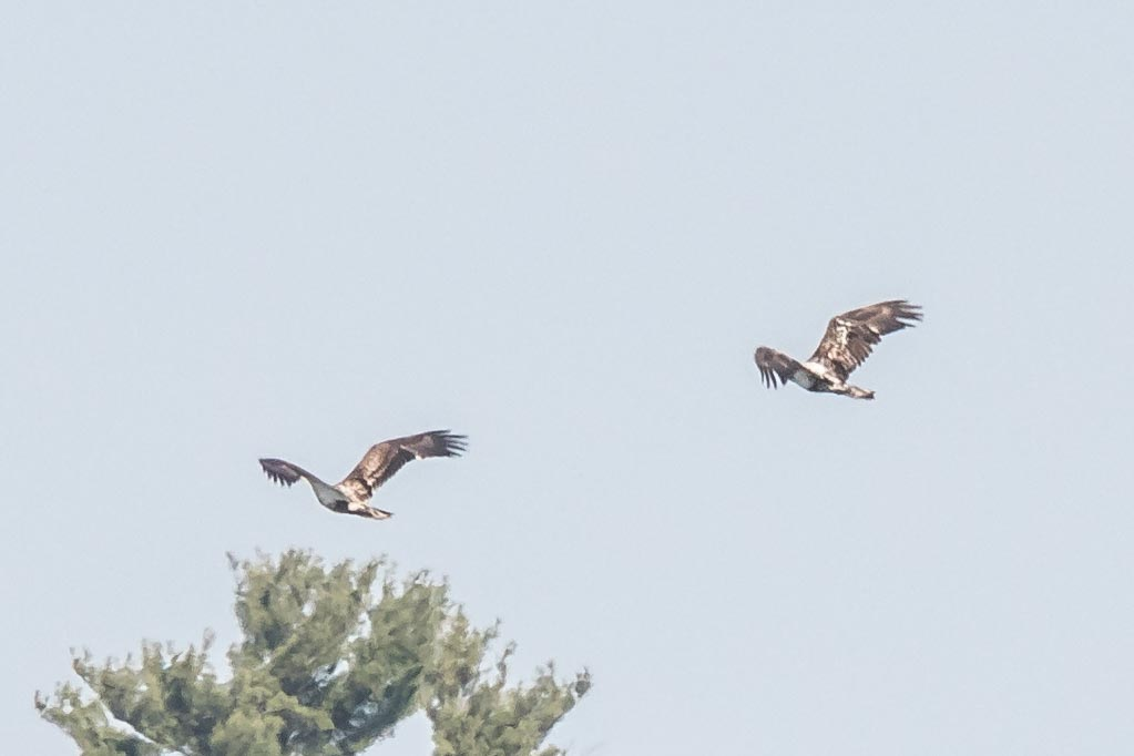 Pair of Young Eagles in Flight