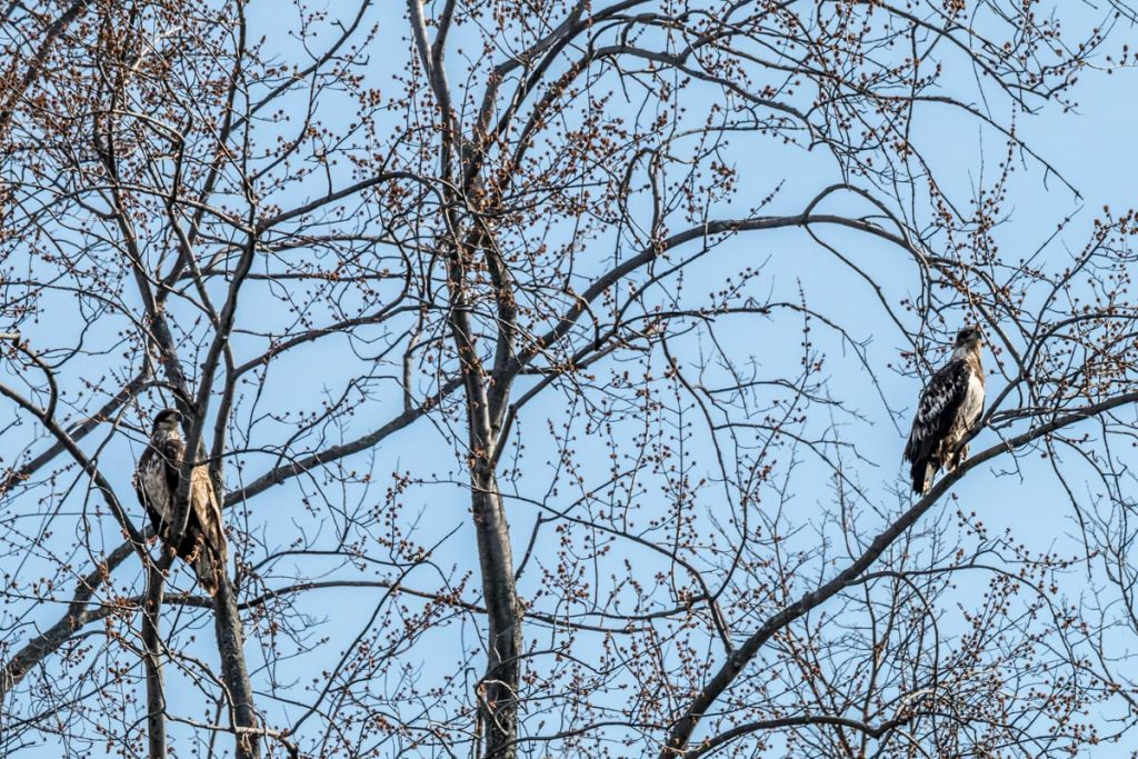 Pair of young eagles