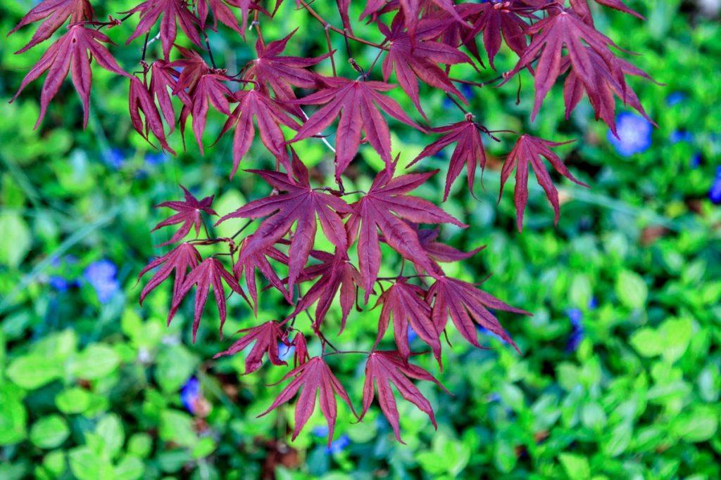 Japanese Maple Leaves