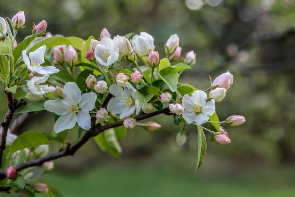 Flowering Crabapple Blossoms