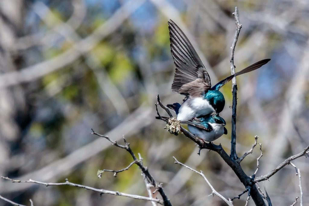 Pair of Tree Swallows