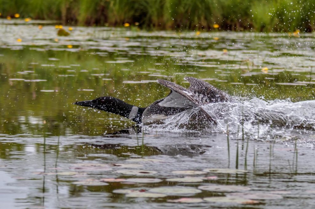 Loon Leaving the Nest