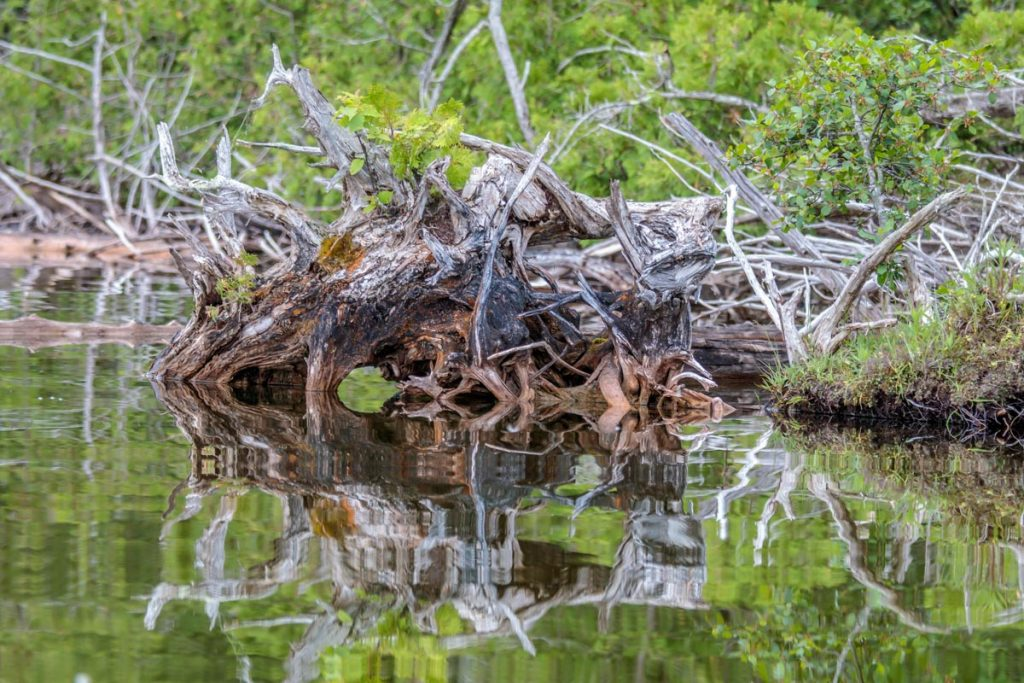 Reflections of Tree Stumps