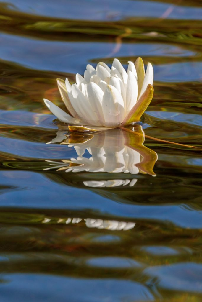Water Lily with Blue Water Reflection