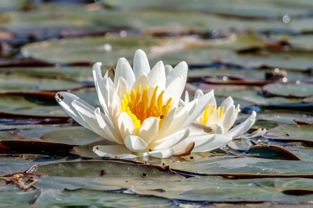 Water Lilies with Yellow