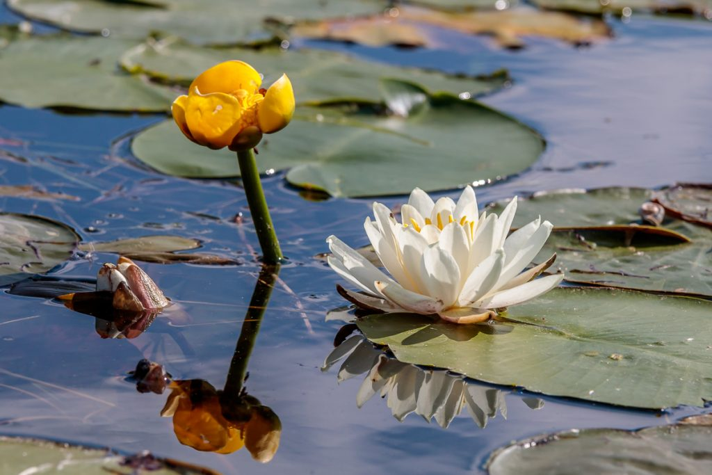 Two Types of Water Lilies