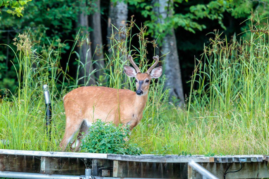 Four-Point Buck in the Velvet Along Lakeshore