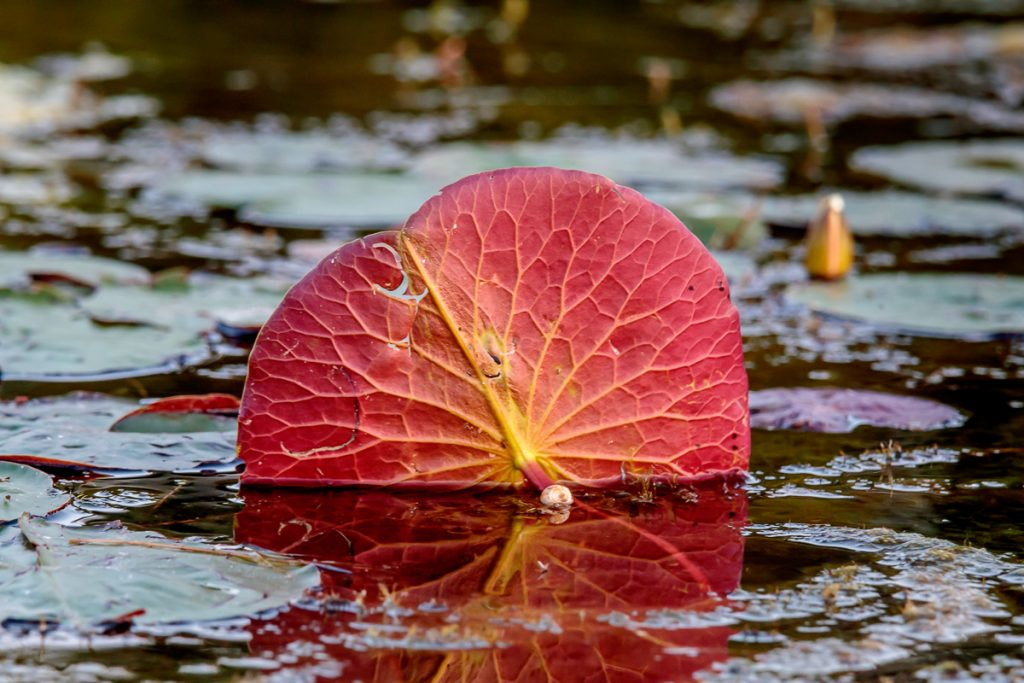 Red Underside of a Lily Pad