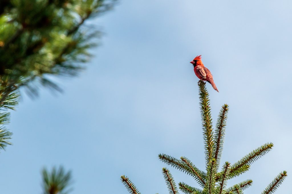 Same Cardinal in the Pine
