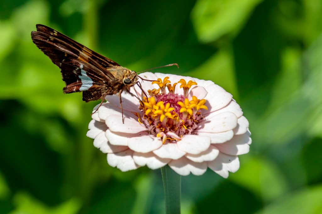 White Zinnia with Butterfly