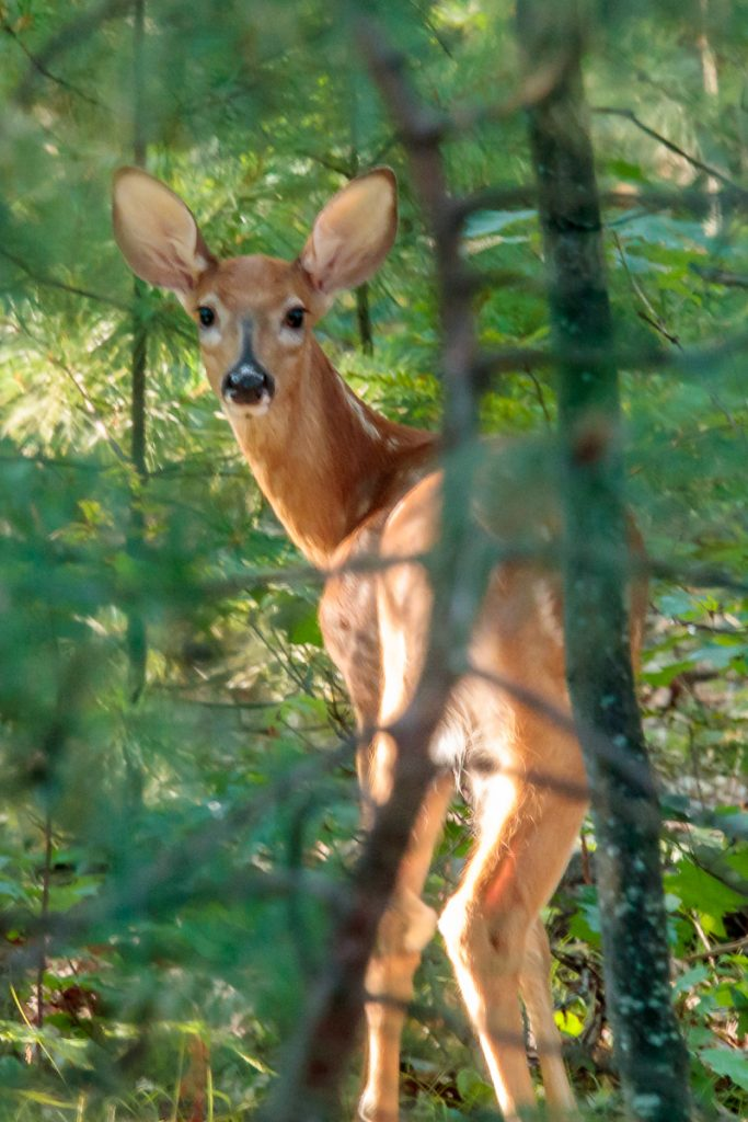 Bambi in the Back Yard