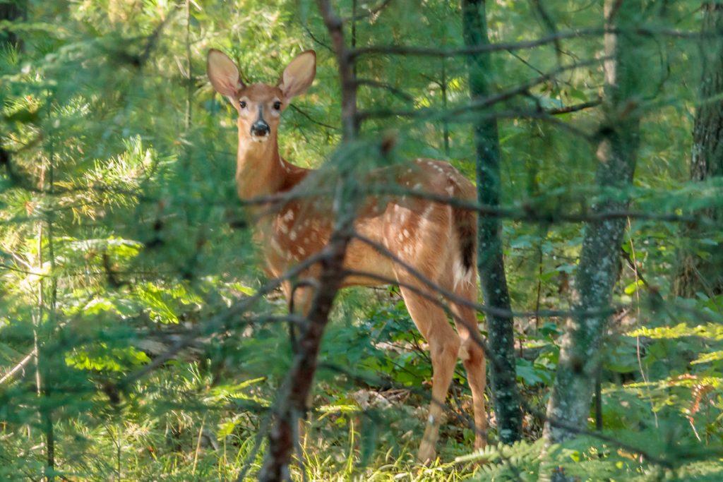 Bambi in Profile
