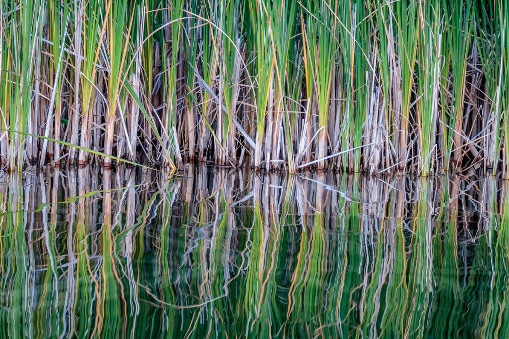 Reflections of Cat Tails 1