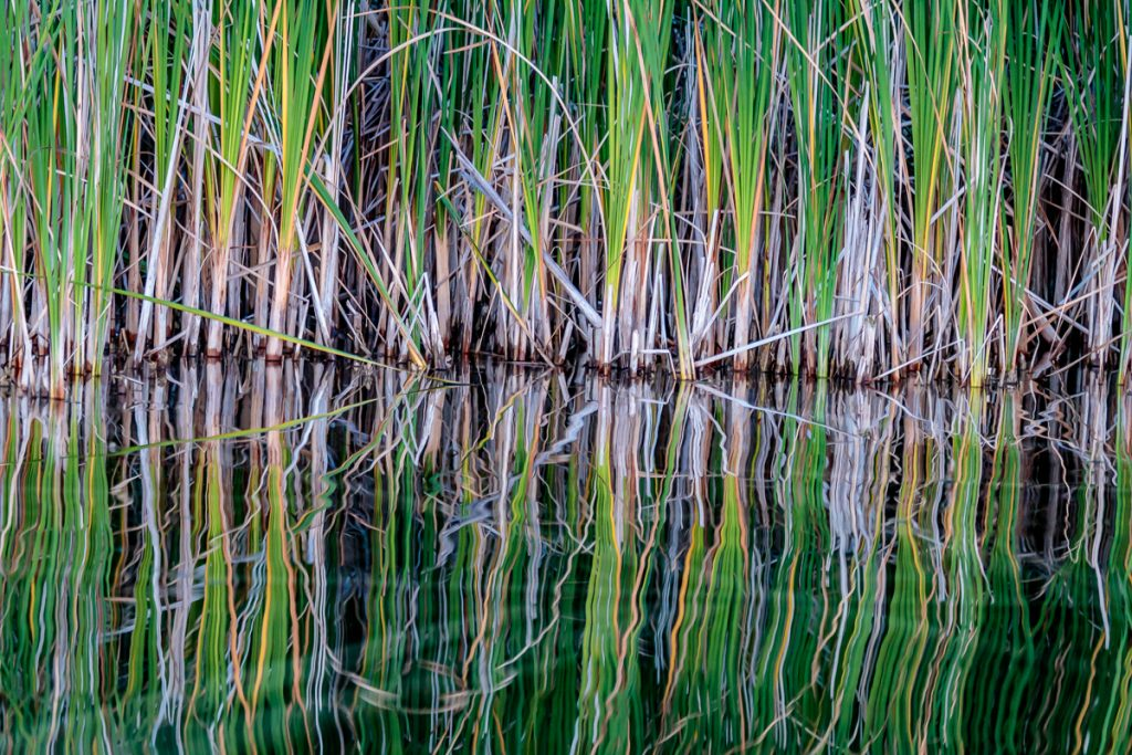 Reflections of Cat Tails 2