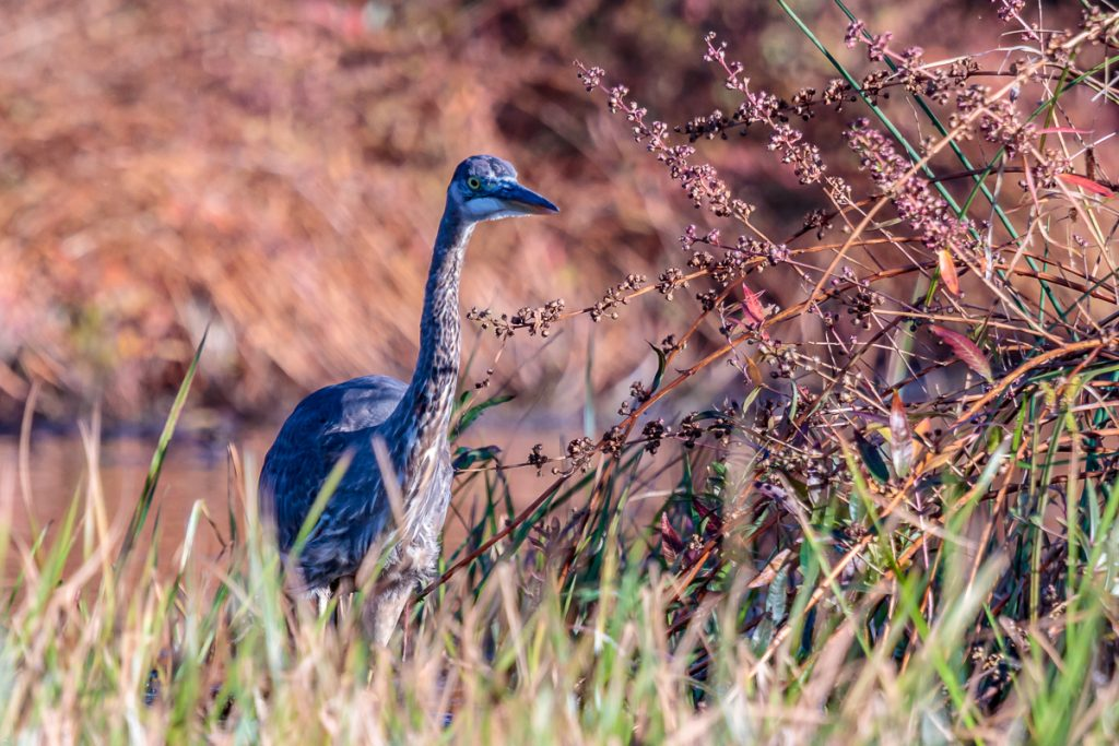 Great Blue Heron watching closely
