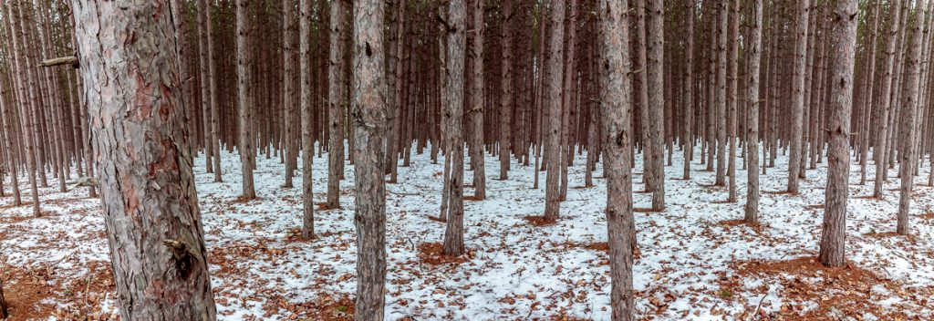 Pine Forest along M-22