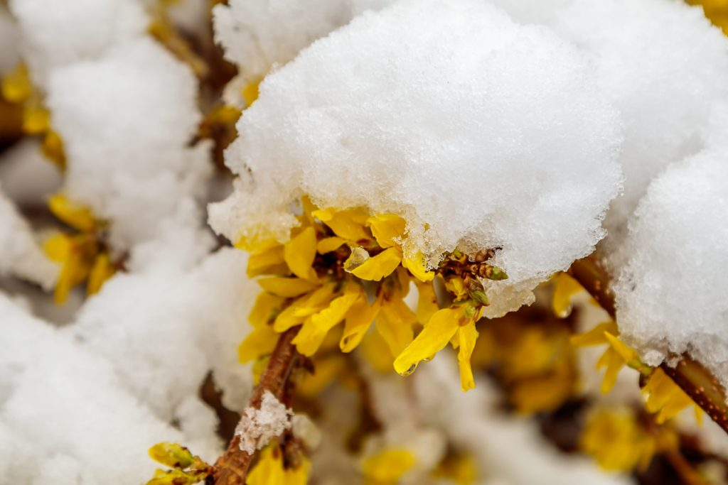 Forsythia Blossoms in the Snow