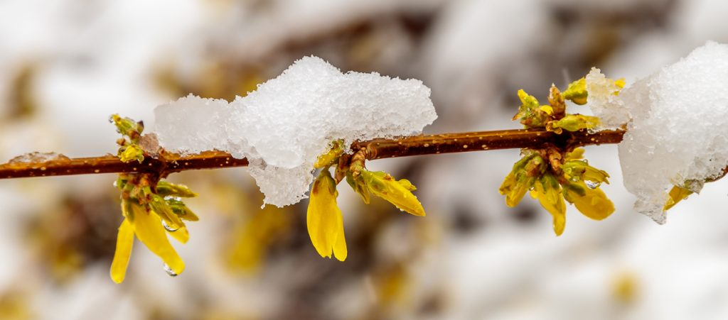 More Forsythia in the Snow