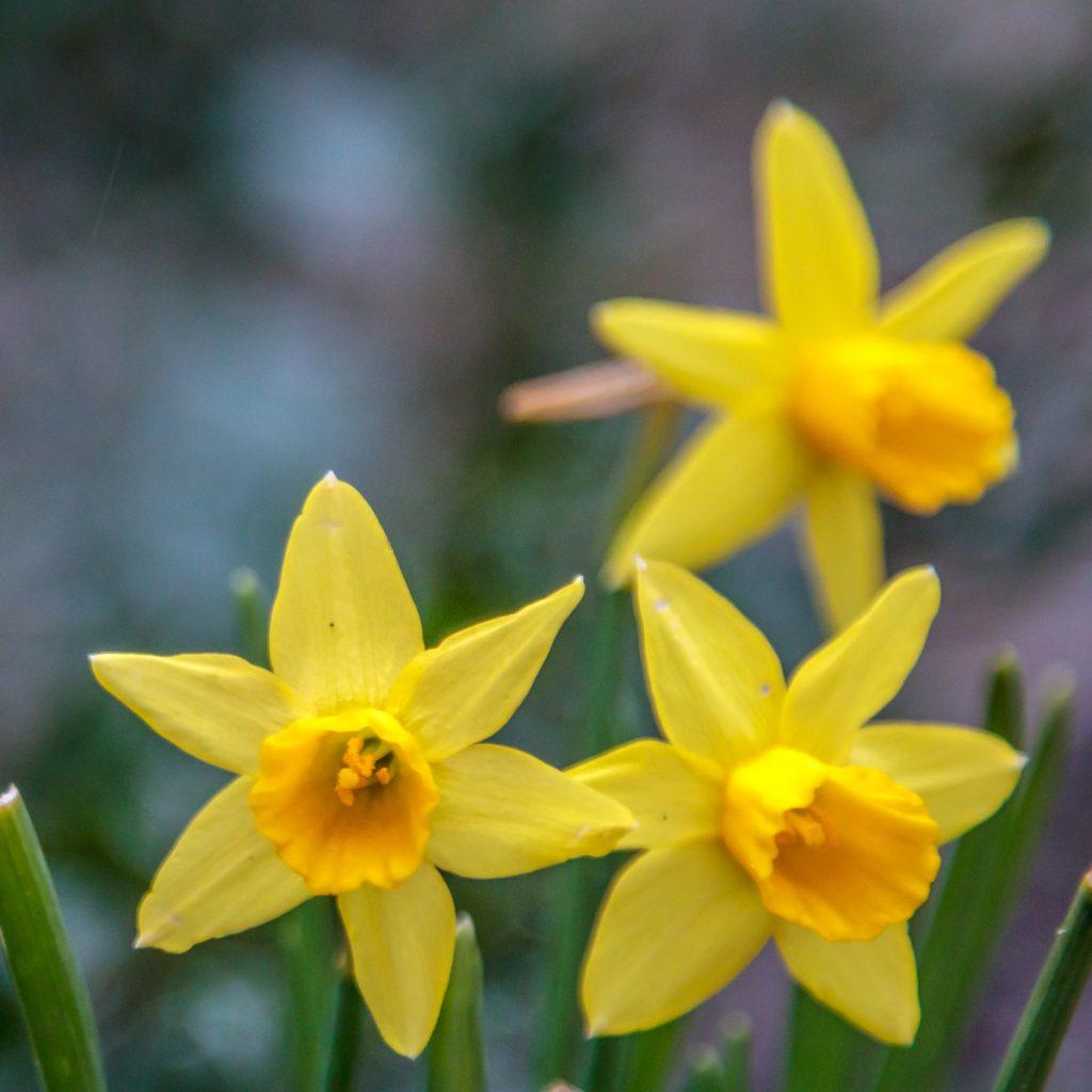 Small Daffodils