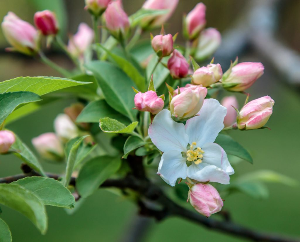 Crab Apple Blossoms and Buds