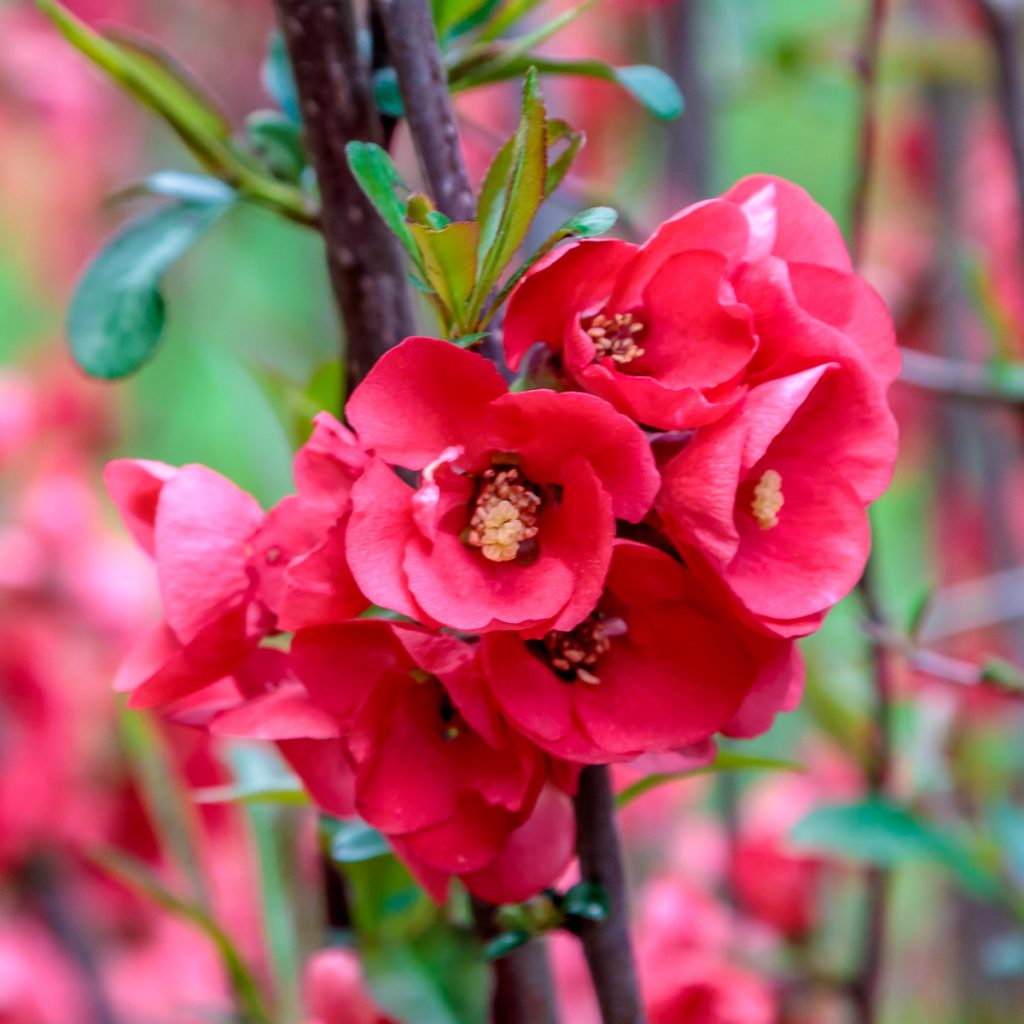 Cluster of Flowering Quince