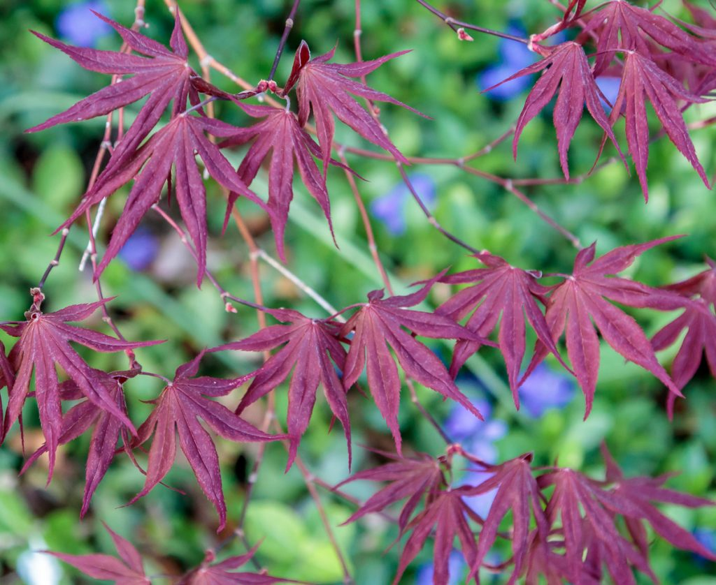 Japanese Maple Leaves with Blue Ground Cover