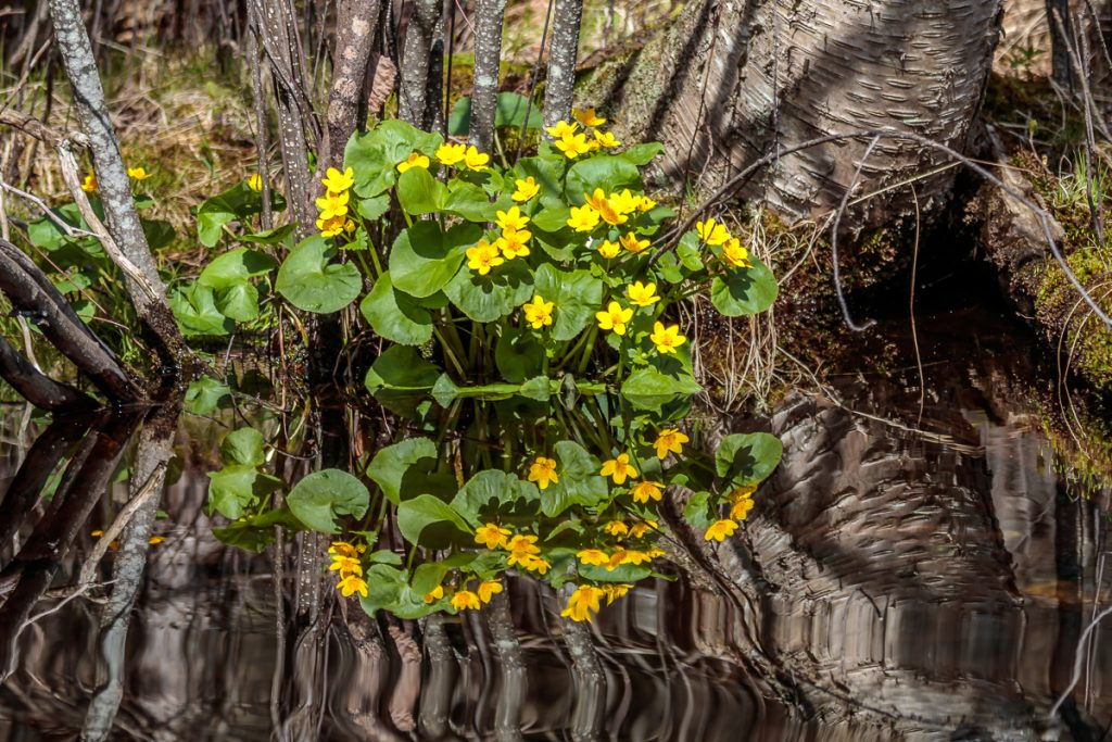 Reflections of Marsh Marigolds