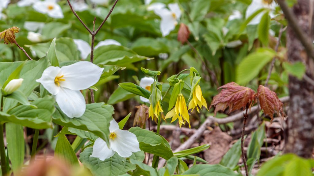 Trilliums and Bellwort
