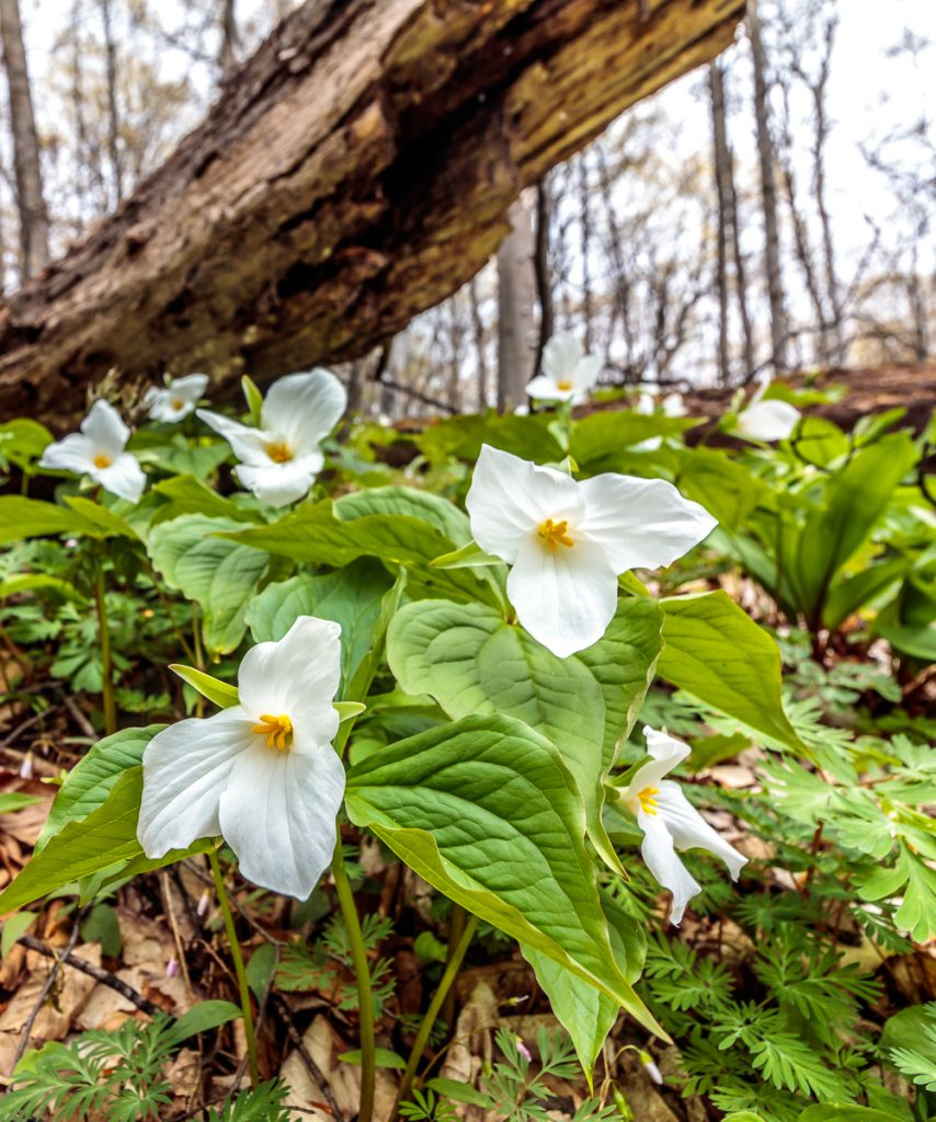 Trilliums under Log